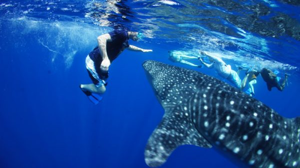 Whale Shark Spotting | Diani beach Kenya 3
