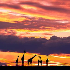 the sunset and the giraffes